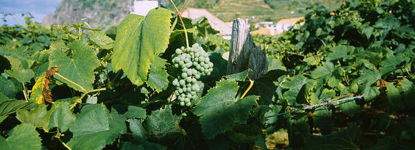 Azores Photograph - Bunch Of Grapes In A Vineyard, Sao by Panoramic Images