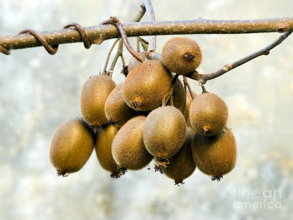 Kiwifruit Photograph - Bunch Of Kiwi by Sinisa Botas