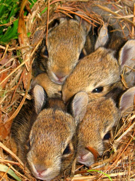 Photograph - Bunny Babies by Patti Whitten