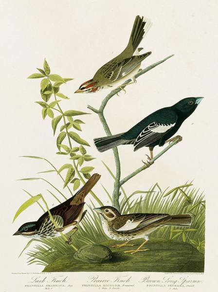 Wall Art - Photograph - Bunting And Sparrows by Natural History Museum, London/science Photo Library