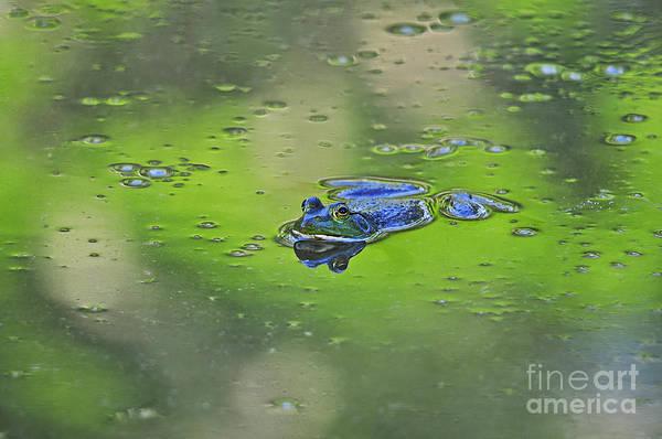 Bull Frog Photograph - Buoyant Bullfrog by Al Powell Photography USA