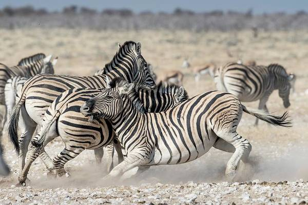 Wall Art - Photograph - Burchelll's Zebras Fighting by Tony Camacho/science Photo Library