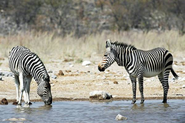 Wall Art - Photograph - Burchell's And Hartmann's Zebras Drinking by Tony Camacho