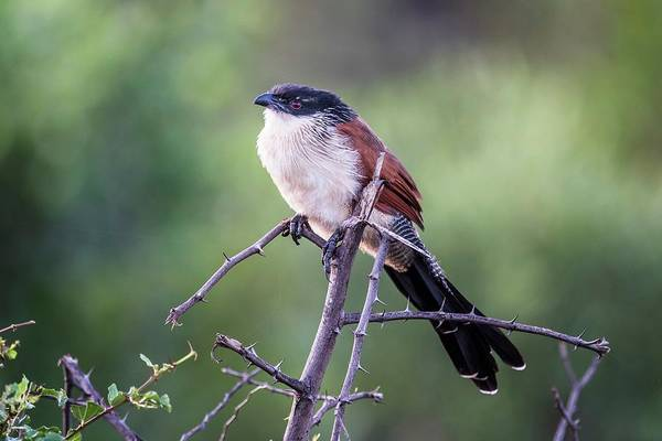 Cuculidae Photograph - Burchells Coucal by Peter Chadwick/science Photo Library