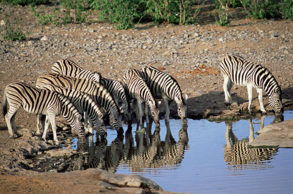 Wall Art - Photograph - Burchell's Zebra At A Waterhole by Sinclair Stammers/science Photo Library