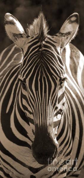 Photograph - Burchell's Zebra by Chris Scroggins