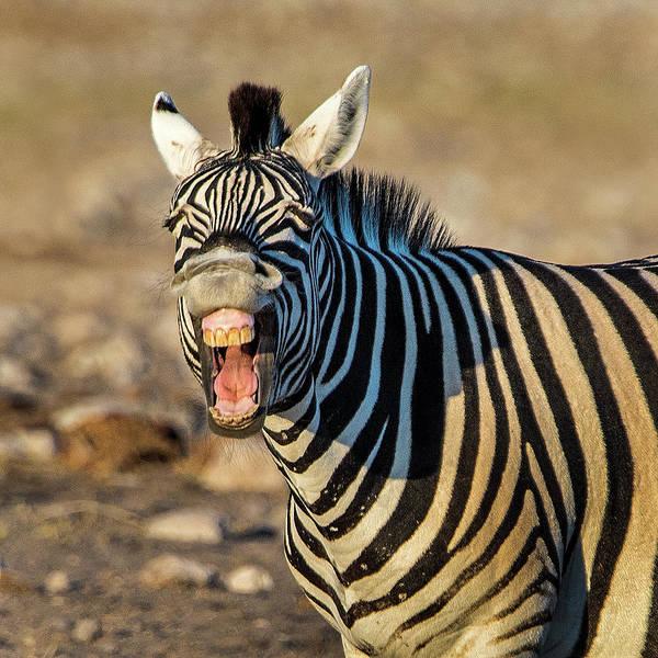 Animal Behavior Photograph - Burchells Zebra Equus Quagga by Animal Images