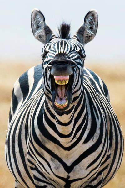 Animal Behavior Photograph - Burchells Zebra Equus Quagga Burchellii by Animal Images