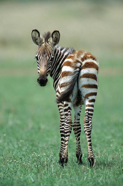 Photograph - Burchells Zebra Foal Masai Mara Kenya by Yva Momatiuk John Eastcott
