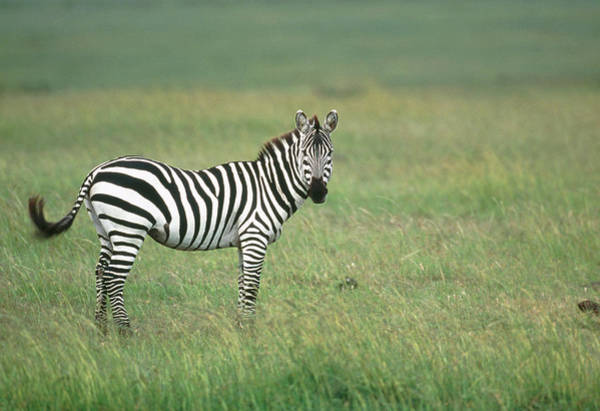 Savanna Photograph - Burchell's Zebra by William Ervin/science Photo Library