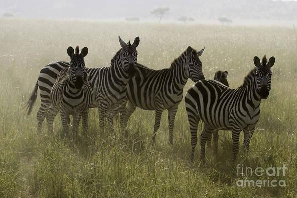 Photograph - Burchell's Zebras by Chris Scroggins