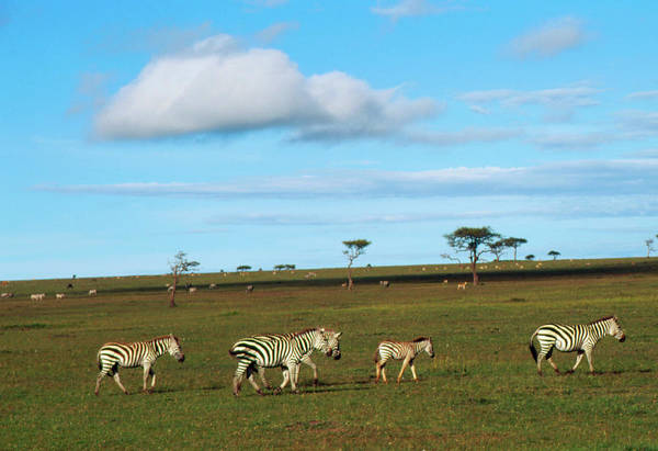Wall Art - Photograph - Burchell's Zebras by William Ervin/science Photo Library