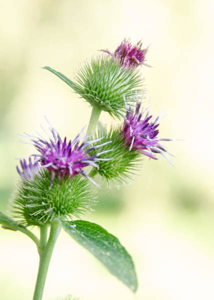 Photograph - Burdock Flowers by Rob Huntley