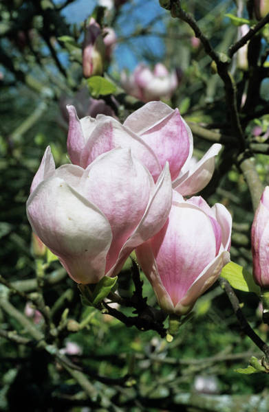 Burgundy Photograph - Burgundy Magnolia Flowers by Adrian Thomas/science Photo Library
