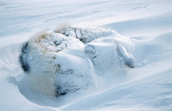 Wall Art - Photograph - Buried Husky Dog by Simon Fraser/science Photo Library