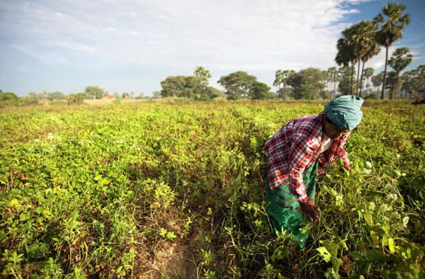 Working Photograph - Burmese Woman Working In Fields, Bagan by Lynn Gail