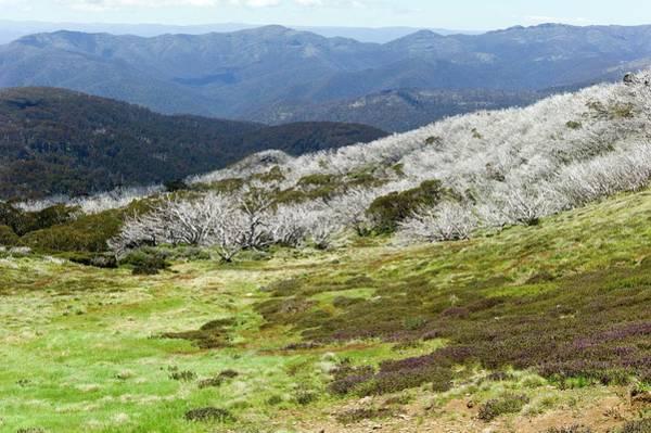 Eucalyptus Photograph - Burned Snow Gums On Mt Stirling by Dr Jeremy Burgess