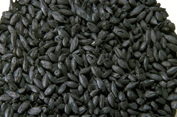 Wall Art - Photograph - Burnt Plant Seeds From Pompeii by Patrick Landmann/science Photo Library