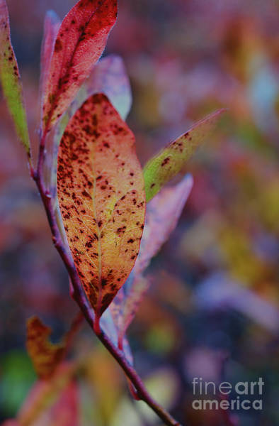 Photograph - Burnt Red Leaf by Dan Friend