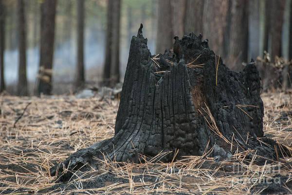 Char Wall Art - Photograph - Burnt Tree Trunk by Juli Scalzi