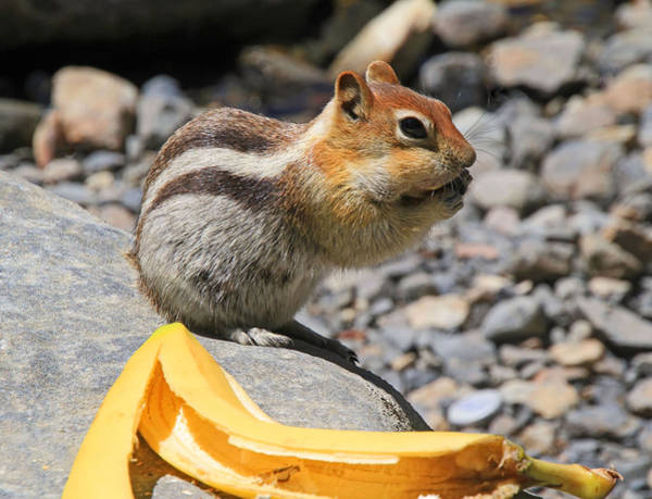 Chipmunk Wall Art - Photograph - Burp... What Banana ?... by Donna Kennedy