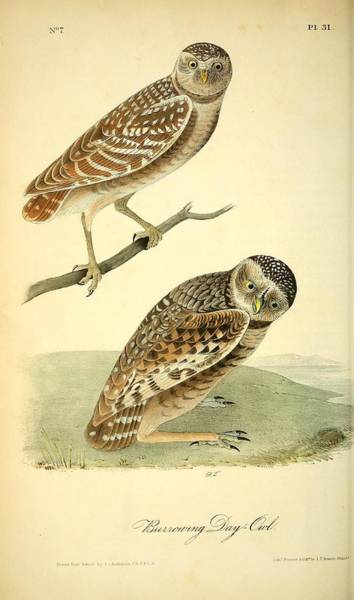 Burrowing Owl Painting - Burrowing Day Owl by Philip Ralley