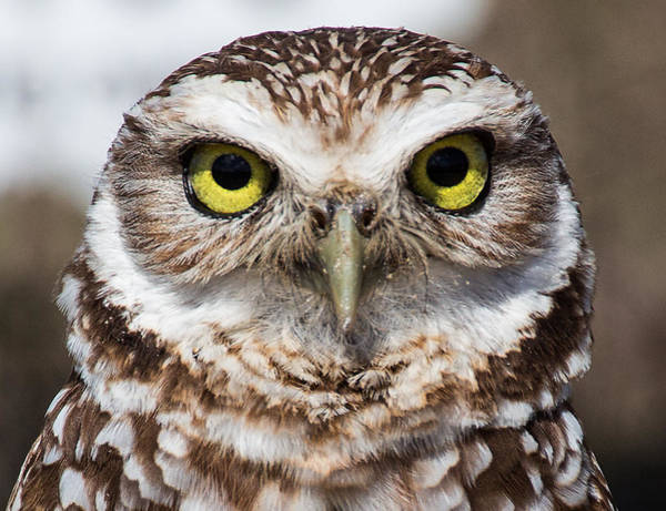 Photograph - Burrowing Owl 1 by Richard Goldman