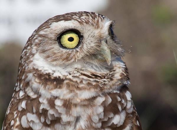 Photograph - Burrowing Owl 2 by Richard Goldman
