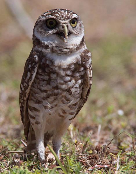 Photograph - Burrowing Owl 3 by Richard Goldman