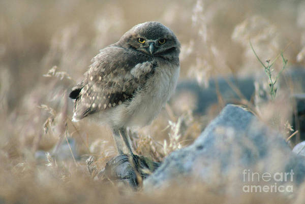 Photograph - Burrowing Owl by Art Wolfe