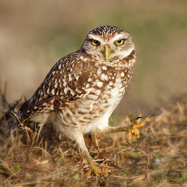 Cape Florida Photograph - Burrowing Owl by Betty Wiley