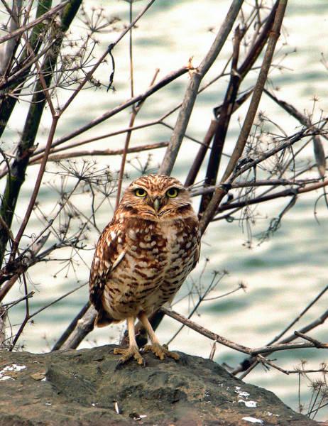 Coastal Bird Photograph - Burrowing Owl By Vladimir Graizer by California Coastal Commission