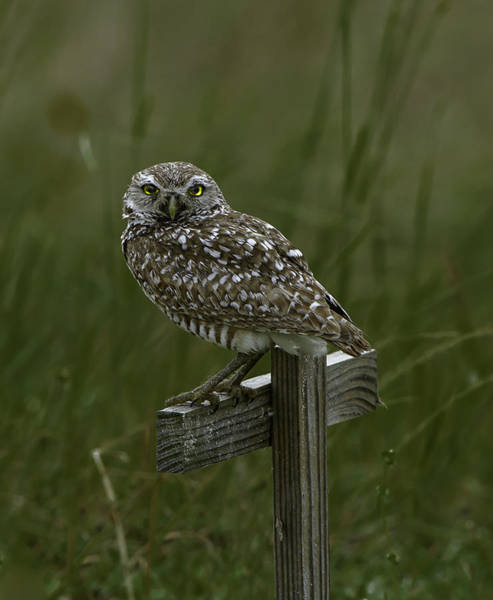 Photograph - Burrowing Owl by Donald Brown