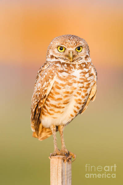Photograph - Burrowing Owl II by Clarence Holmes