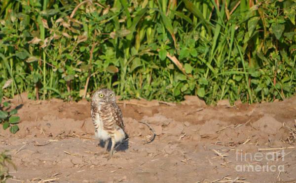 Photograph - Burrowing Owl IIi by Donna Greene