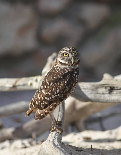 Photograph - Burrowing Owl by Jean Clark