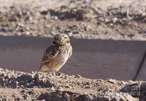 Photograph - Burrowing Owl by Jim West