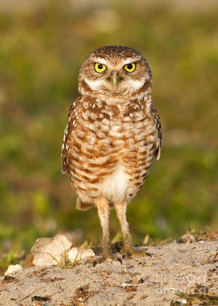 Burrowing Owl Art Print by Joshua Clark