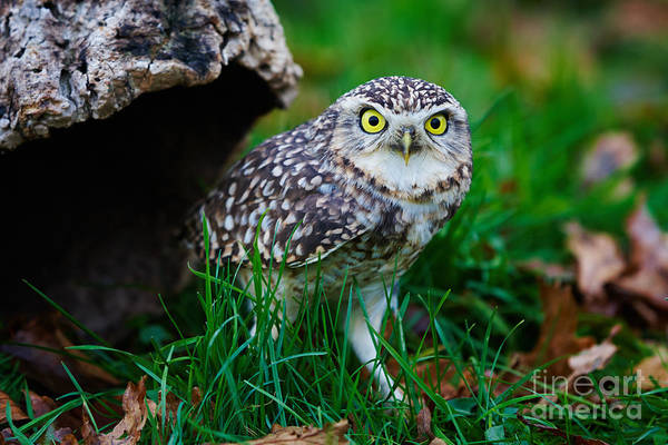 Photograph - Burrowing Owl  by Nick  Biemans
