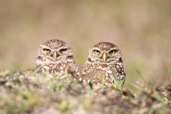 Photograph - Burrowing Owl Pair by Brian Magnier