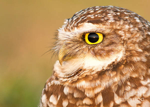 Joshua Clark Photograph - Burrowing Owl Portrait by Joshua Clark