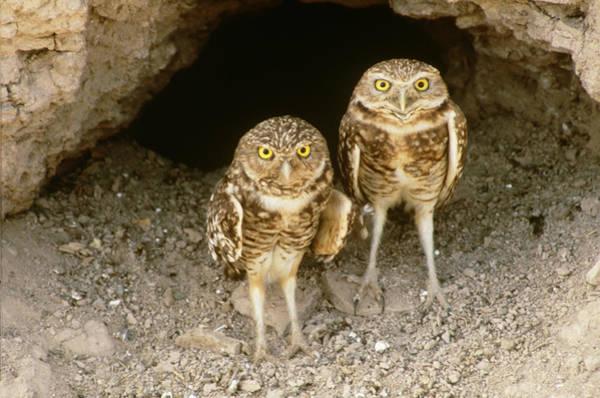 Wall Art - Photograph - Burrowing Owls At Burrow by Craig K. Lorenz