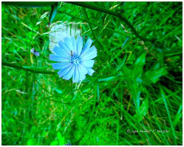 Photograph - Burst Of Chicory by Kendall Kessler