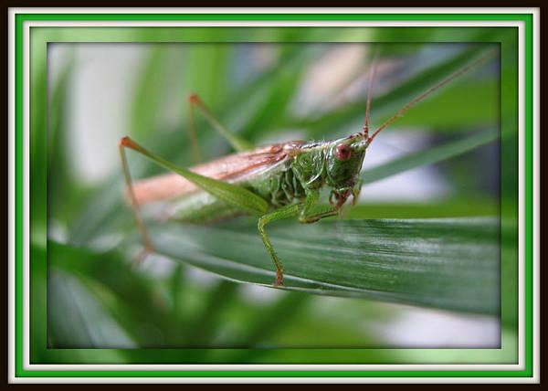 Photograph - Bush Cricket by Charmaine Zoe