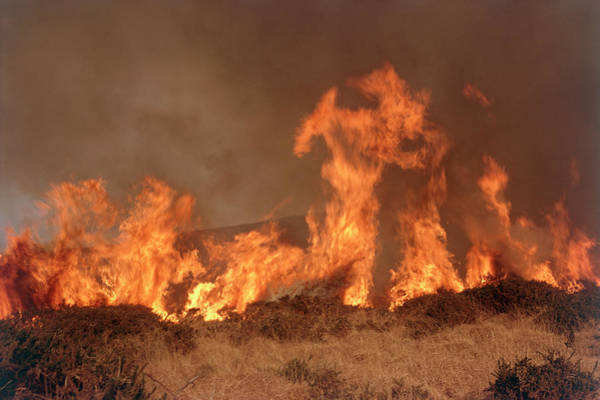 Heath Photograph - Bush Fire by Maurice Nimmo/science Photo Library