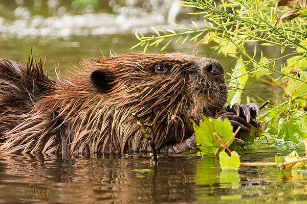 Beaver Photograph - Busy As A Beaver by Everet Regal