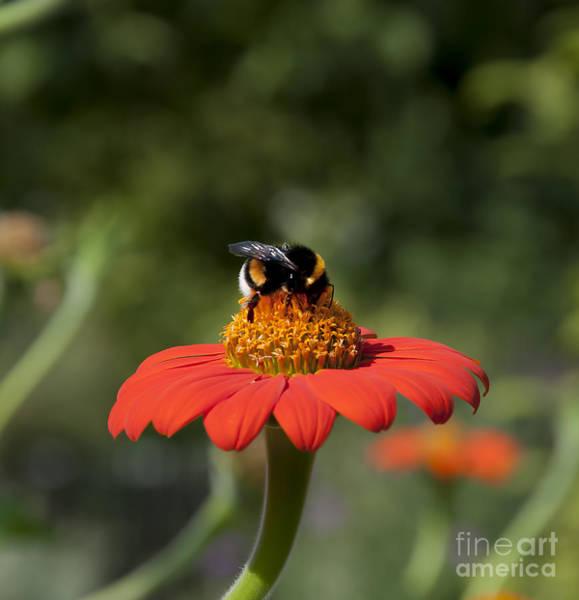 Photograph - Busy Bee by Brenda Kean