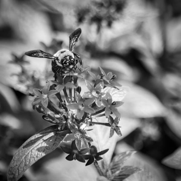 Photograph - Busy Bee - Bw by Carolyn Marshall