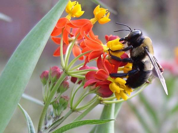 Photograph - Busy Bee by Cleaster Cotton