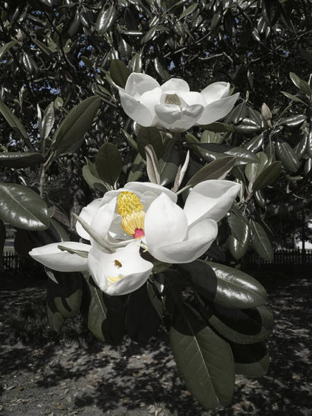 Photograph - Busy Bee In A Magnolia Blossom by MM Anderson